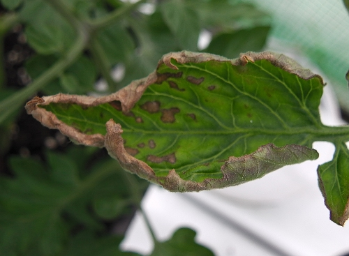 Potassium deficient leaf on tomato plant.