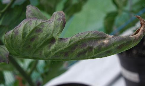 Purple leaves usually indicate phosphorus deficiency.