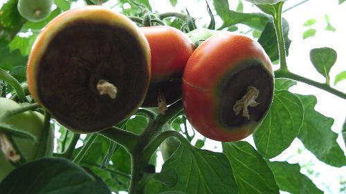 Tomatoes With Blossom End Rot