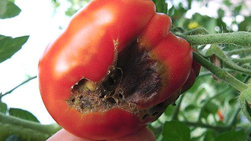 Blossom End Rot affecting a large tomato variety.