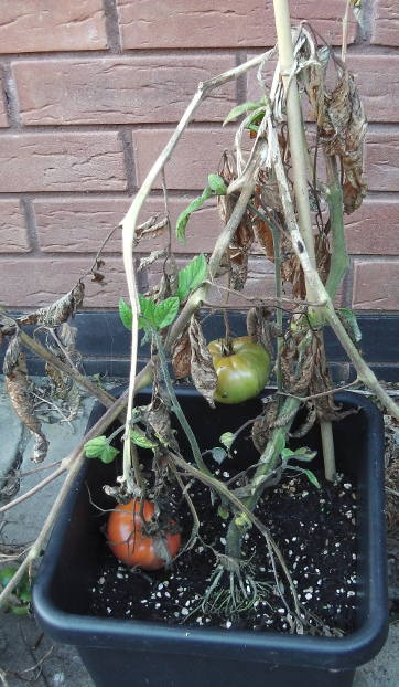 How To Manage Tomato Blight