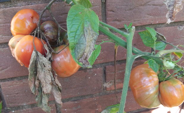 How to manage tomato blight.