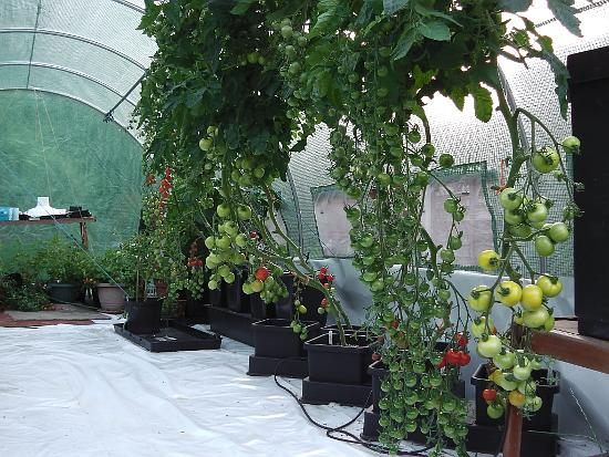 Tomatoes in July/August with lower branches removed.
