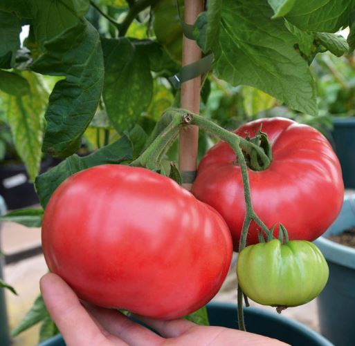 Crimson Blush Tomato from Suttons.
