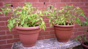Large Tomato Pots On The Patio