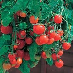 Tomato Plug Plants - Tumbling Tom