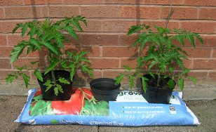 Growing tall varieties in grow bags.