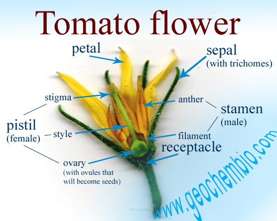 Inside a tomato flower tomato growing tomato flower anatomy inside a tomato flower ccuart Images