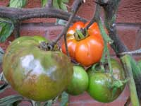 Late tomato blight on fruit and stem.