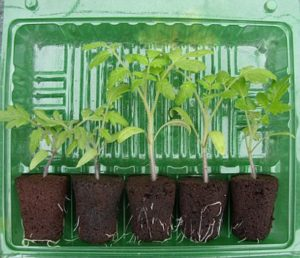 Blister Pack of Seedlings for pot ready tomato plants.