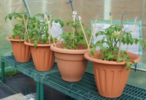 Hardening off - Four Tomato Plants in Pots