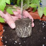 Tomato Root Structure