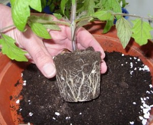 Three Tips For Top Tomatoes - Tomato Root Structure