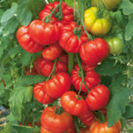 grafted tomatoes on vine