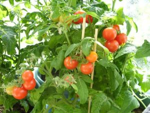 Tomato Red Robin - Why Grow Tomatoes