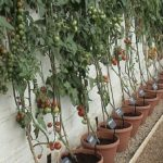 Tomatoes growing against a wall