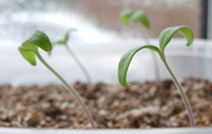 Hormone auxin and tomato seedlings