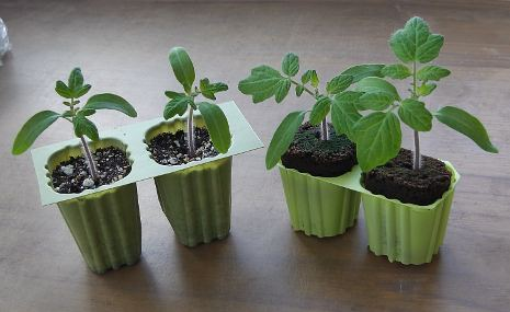 Heartbreaker tomato seedlings