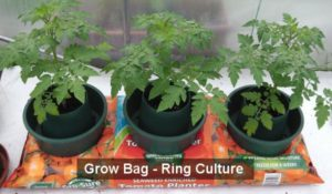 Growing Tomatoes In Containers Pots To Grow Bags