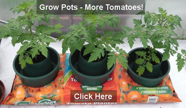 tomato growing in containers and grow bags, Natural flower
