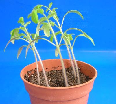Leggy tomato seedlings - sow too early and they become leggy.
