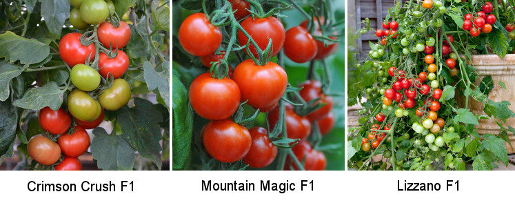 Three Blight-Free Tomato Varieties