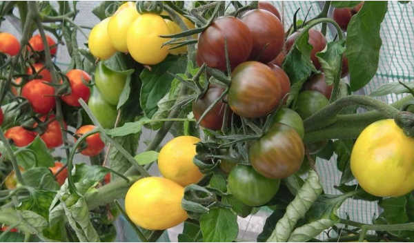 Tomato Varieties - colours shapes and sizes