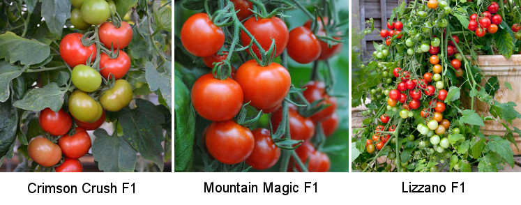Three blight resistant tomato varieties.