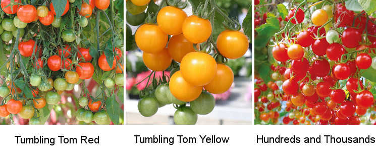 Tomato Trailing Varieties